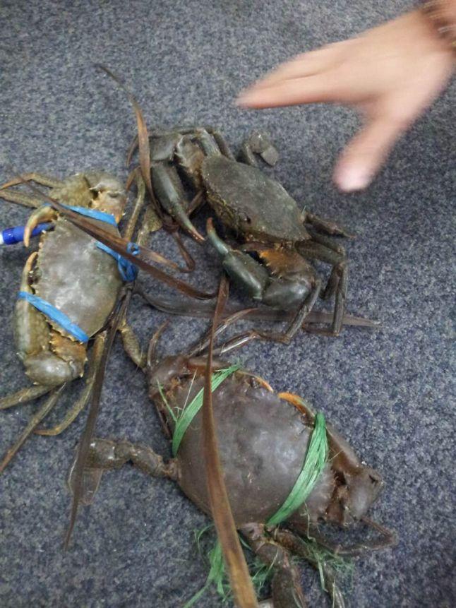 Crab-Xie Guang Long-2