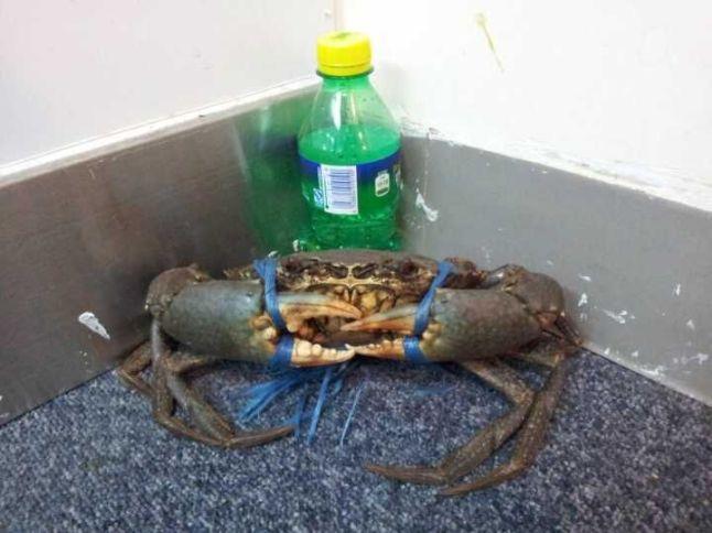 Crab-Xie Guang Long-3